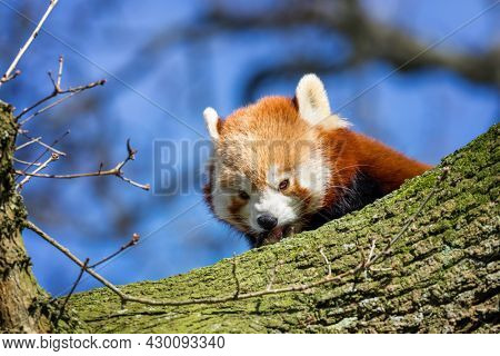 Red panda, ailurus fulgens, peeps from behind a tree trunk. Otherwise known as the lesser panda or bear cat  and native to the eastern Himalayas and southwestern China