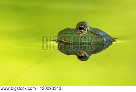 bright green bullfrog sitting in a pond waiting for a bug to eat
