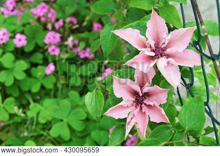 Close Up Of Pink Clematis In The Garden