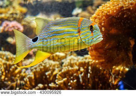 Threadfin Snapper Symphorichthys Spilurus fish underwater in sea with corals in background