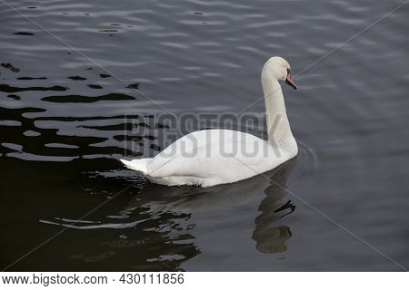 Majestic White Swan Is Swiming On The Dark Lake. White Swan With Orange Beak And Luxurious Plumage.
