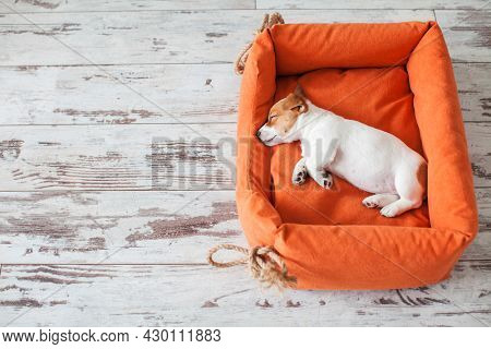 Little dog sleeping at home on the orange bed. Small puppy lying at home Jack Russell