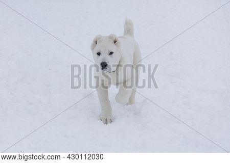 Cute Central Asian Shepherd Dog Puppy Is Walking On A White Snow In The Winter Park And Looking At T