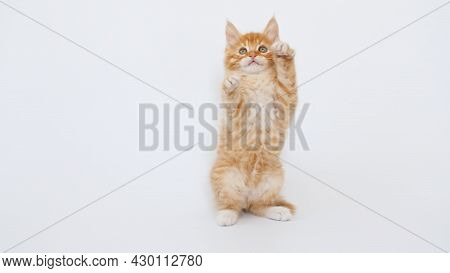 Ginger Kitten Play On Isolated White Background. Cute Little Red Cat Observes. Cute Funny Home Pets.