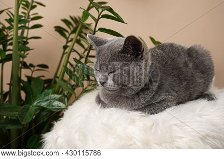 A Young British Short-hair Cat - A Grey Kitten Sitting On A White Faux Fur Surface And A Zamioculcas