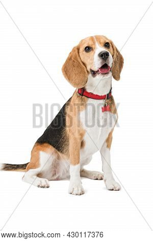 Pet Dog Beagle Sits In A Collar With A Tag. The Background Is Isolated.