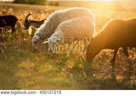 A Mixed Herd Of Sheep And Goats In A Meadow In The Rays Of The Setting Sun.