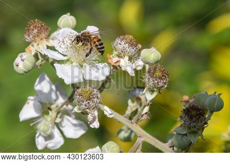 Close Up Of A European Honey Bee (apis Mellifera)  Pollinating Awhite Flowers On A Common Bramble (r