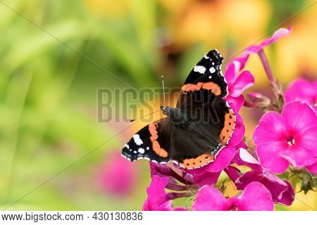 A Daytime Butterfly Admiral Sits On A Blooming Pink Phlox Flower.