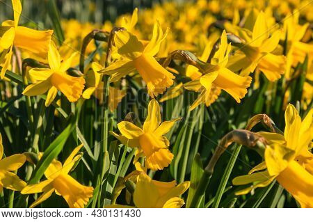 Closeup Of Dwarf Yellow Daffodils In Bloom With Blurred Background