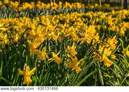 Closeup Of Miniature Daffodils Floral Display In Park With Blurred Background And Copy Space