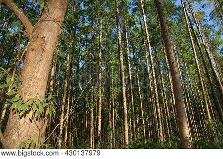 Planting Eucalyptus Trees In Southern Bahia