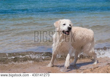 A Labrador Swims In The Sea. The Dog Is Playing In The Water. Wet Fur