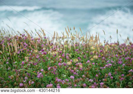 Clover. Herbs. Motley grass growing at Atlantic Ocean coast in France