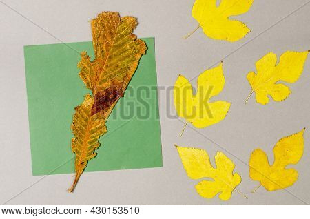 Fallen Leaves On A Gray Background. Herbarium Of Yellow And Brown Leaves. A Square Green Sheet Of Pa