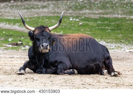 Heck Cattle, Bos Primigenius Taurus, Claimed To Resemble The Extinct Aurochs. Domestic Highland Catt