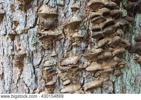 A Colony Of Brown Mushrooms Grows On An Old Tree In The Forest, Mushrooms Grow On The Bark Of The Tr