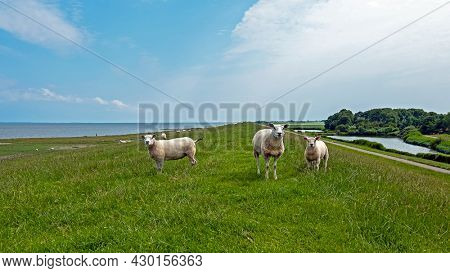 Sheep on the dyke at the Wadden Sea in Friesland the Netherlands