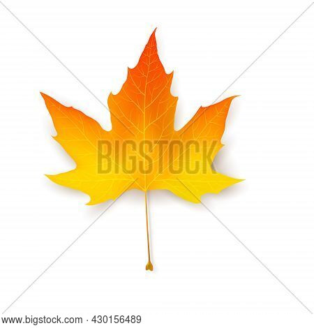 Yellow And Red Maple Leaf. Natural Plant Object Collection. A Symbol Of Ecology, Strength And Health
