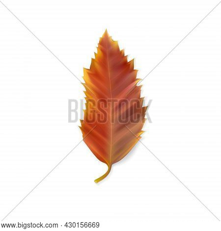 Leaf Of Hackberry (celtis Australis). Reddish Autumn Leaf Isolated On White. Autumn Season. Colorful