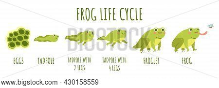 Frog Life Cycle. Stages Development And Growth Of Toad, Water Animal Transforming Stages, Funny Amph