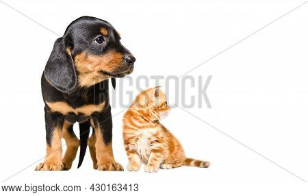 Slovakian Hound Puppy And Kitten Scottish Straight, Looking To The Side, Isolated On White Backgroun