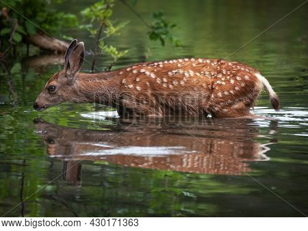pretty young fawn crossing a pond in a park
