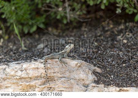 A Beautiful Lizard In A Large Desert. Large Lizard.