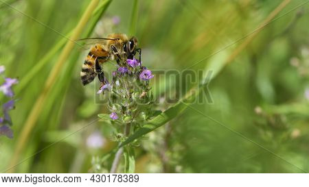 Bee And Wildflowers On A Green Background. Bee At Work, Collecting Pollen. Bright Delicate Pink Flow