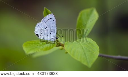 Little Blue Butterfly Sits On A Green Leaf. A Bright Blue Butterfly Sits On A Tree Branch On A Beaut