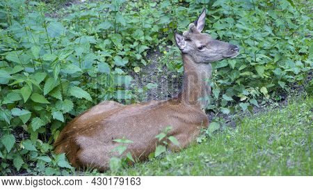 Small Deer, Wild Animal. Deer Resting In The Thickets. Glade With Nettles, Green Leaves. Young Deer,
