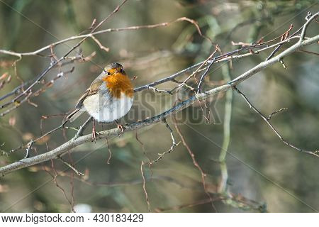 Single Robin At A Sunny And Cold Winterday On A Tree