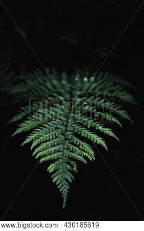 Detail Shot Of A Fern Leaf Growing In A Forest. Fern Floral Natural Background In Sunlight.