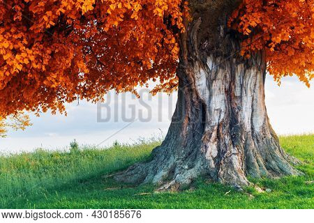 Old linden tree on autumn meadow. Large tree crown with lush orange foliage and thick trunk glowing by sunset light. Landscape photography