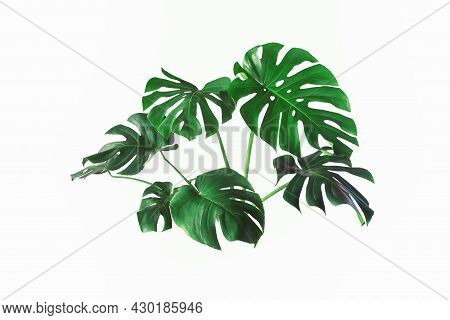 Monstera Plant Leaf, The Tropical Evergreen Vine Isolated On White Background, Real Monstera Leaves