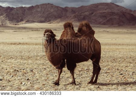A double-humped camel in the Mongolian steppe.