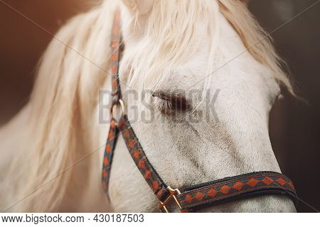 Portrait Of A Beautiful White Horse With A Wavy Mane, Which Is Napping Standing On A Farm In The Eve