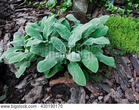 Leaves Of Stachys Byzantina, Lamiaceae In Botanical Garden. Big Ears Soft Leaves. Fleecy Plant Hairy