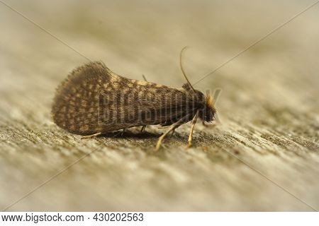 Closeup On The Large Birch Bright, Taleporia Tubulosa, A Small Brown And Hairy Micro Moth