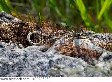A Sand Lizard Sunbathing On A Stone.