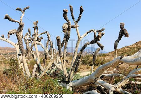 Burnt Joshua Trees Caused From A Past Wildfire On A Charcoaled Landscape Taken At An Arid Field In T