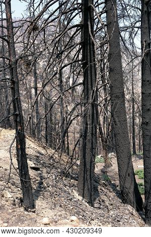 Burnt Pine Trees On A Charcoaled Landscape Caused From A Past Wildfire Taken At A Parched Alpine For