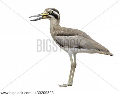 Great Stone Curlew (esacus Recurvirostris) Ugly Brown Thick-knee With Big Eyes And Large Bills Wader