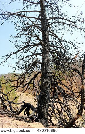Burnt Pine Tree On A Charcoaled Landscape Caused From A Wildfire During Drought Conditions Taken At