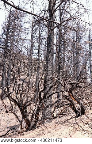Burnt Plants And Pine Trees On A Charcoaled Landscape Caused From A Past Wildfire Taken At A Drought