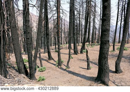 Burnt Pine Trees On A Charcoaled Landscape Caused From A Past Wildfire Taken At A Parched Forest In