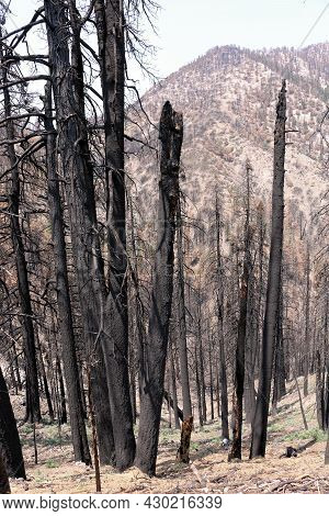 Burnt Alpine Pine Forest Caused From A Wildfire On A Charcoaled Mountain Ridge Taken At A Parched Dr