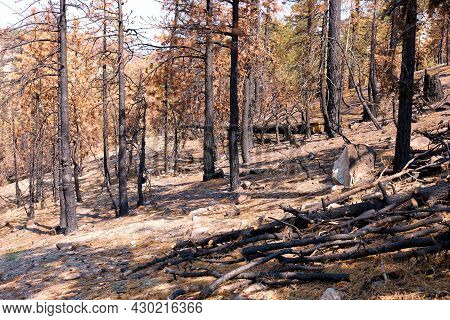 Charcoaled Forest From A Wildfire And The Effects Of Climate Change Caused By A Prolonged Drought Ta