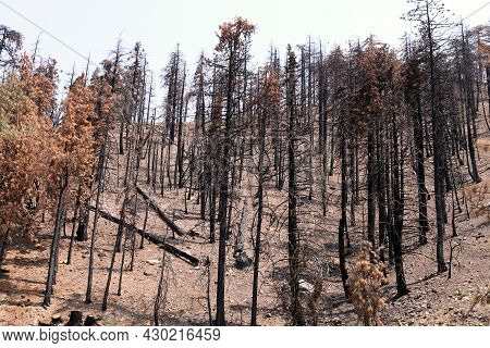 Parched Mountain Slope Covered With Burned Pine Trees Caused From A Past Wildfire During A Prolonged