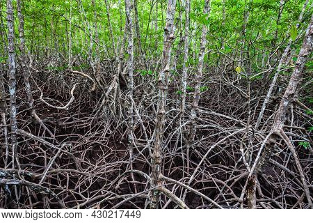 Mangrove Forest Near El Nido, Palawan Island In Philippines